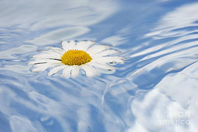 Fluid Photograph - Oxeye Daisy Floating On Water by Tim Gainey