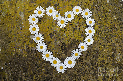 Heart Shaped Rock Photograph - Oxeye Daisy Heart by Tim Gainey