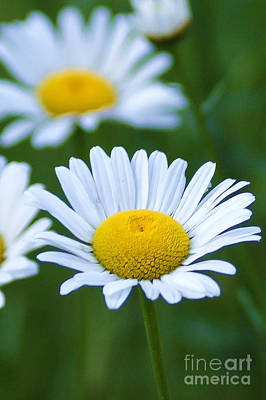 Photograph - Oxeye Daisy by Jim McCain