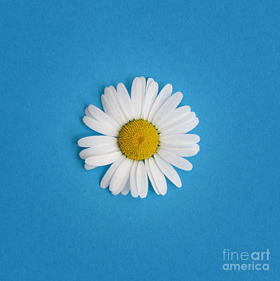 Oxeye Daisy Square Blue Art Print by Tim Gainey