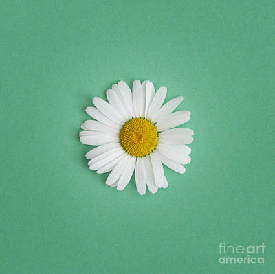 Oxeye Daisy Square Green Art Print by Tim Gainey