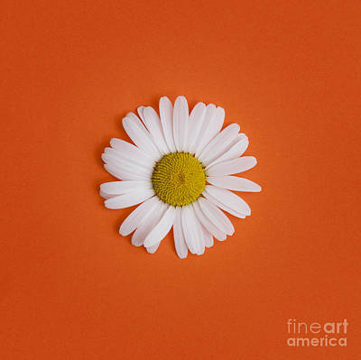 Oxeye Daisy Square Orange Art Print by Tim Gainey