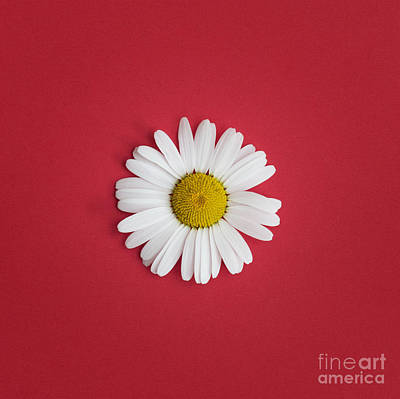 Oxeye Daisy Square Red Art Print
