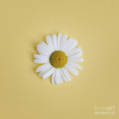 Oxeye Daisy Square Yellow Art Print by Tim Gainey