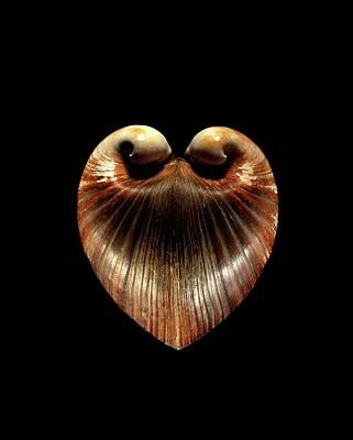 Oxheart Clam Shell Art Print by Gilles Mermet