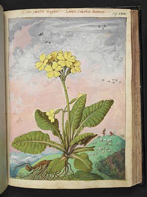 Oxlip (primula Elatior) Print by British Library