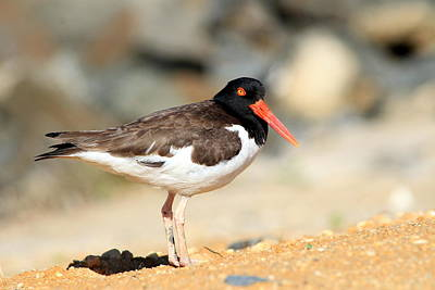 Photograph - Oyster Catcher 6-4 by Diane Rada