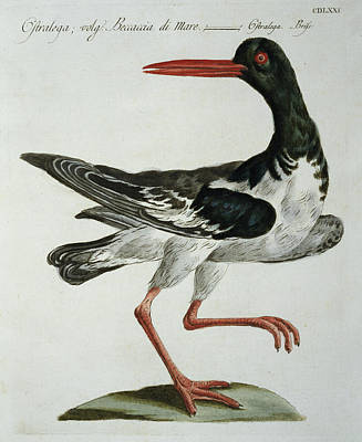 Oyster Drawing - Oyster Catcher by Italian School