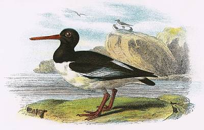 Oyster Photograph - Oyster Catcher by English School