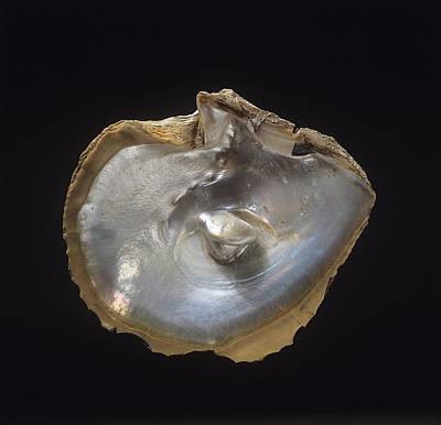 Oyster Shell With Pearl Art Print by Science Photo Library