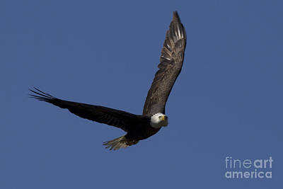 Photograph - Ozzy In Flight by Meg Rousher