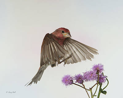 Photograph - P Finch And The Thistle by Gerry Sibell