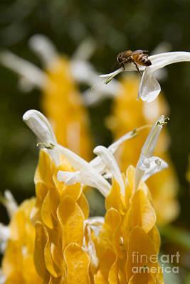 Pachystachys Lutea - Lollipop Plant - Golden Candle - Shrimp Plant Art Print by Sharon Mau