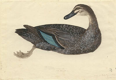 1794 Photograph - Pacific Black Duck by Natural History Museum, London