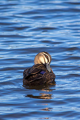 Photograph - Pacific Black Duck by Nicholas Blackwell