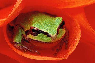 Pacific Chorus Frog In Dahlia Art Print