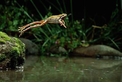 Pacific Chorus Frog Jumping Art Print