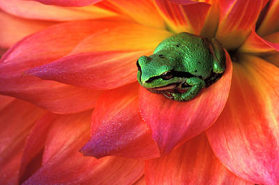 Pacific Chorus Frog On Dahlia Art Print by Jaynes Gallery