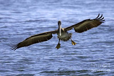 Tim Moore Photograph - Pacific Coast Brown Pelican by Tim Moore