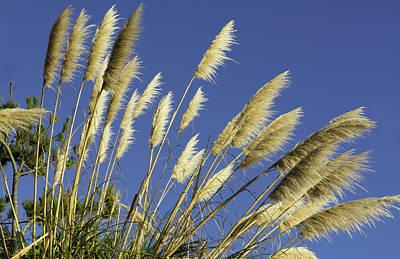Pampas Grass Photograph - Pacific Coast Highway 1, California by Bill Bachmann