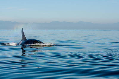 Photograph - Orca Spray by Roxy Hurtubise
