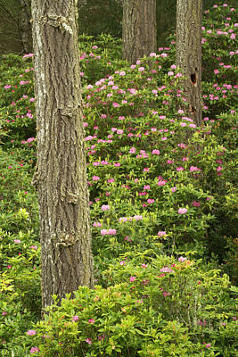 Sutton Photograph - Pacific Coast Rhododendron by William Sutton