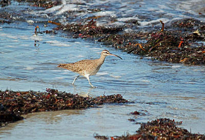Close Up Photograph - Pacific Curlew IIi by Suzanne Gaff