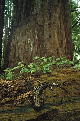 Photograph - Pacific Giant Salamander In Redwoods by Larry Minden