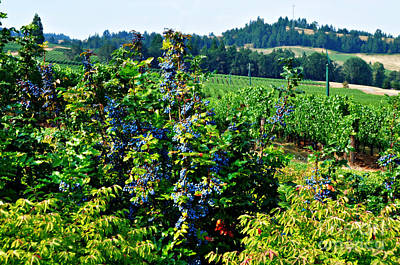 Photograph - Pacific Grapes And Vineyard  by Mindy Bench