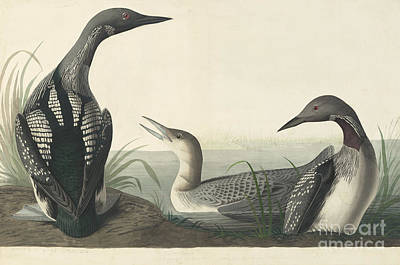 Loon Drawing - Pacific Loon  by Celestial Images
