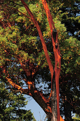 Orcas Island Photograph - Pacific Madrona Tree, East Sound, Orcas by Michel Hersen