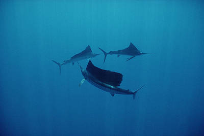 Pacific Sailfish Off Of Manualita Isl Art Print