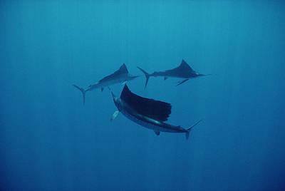 Pacific Sailfish Off Of Manualita Isl Art Print by Flip Nicklin