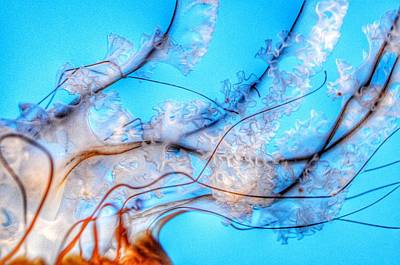 Photograph - Pacific Sea Nettle Details by Marianna Mills