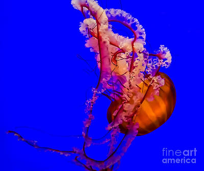 Photograph - Pacific Sea Nettle Jellyfish by Em Witherspoon