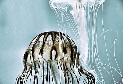 Photograph - Pacific Sea Nettles by Marianna Mills