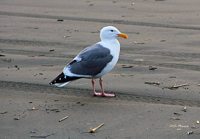 Photograph - Pacific Seagull by Jeanette C Landstrom