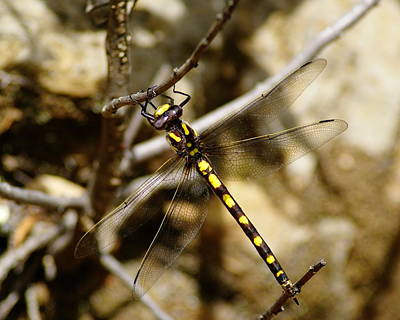 Photograph - Pacific Spiketail Dragonfly On Mt Tamalpais by Ben Upham III
