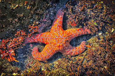 Photograph - Pacific Starfish by Greg Norrell