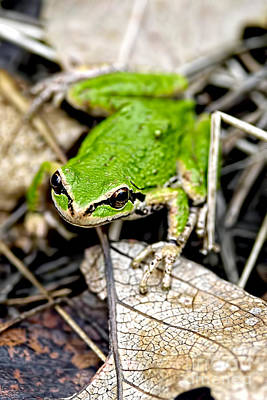 Photograph - Pacific Tree Frog 2a by Sharon Talson