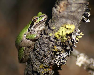 Photograph - Pacific Treefrog by Ben Upham III