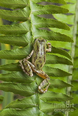 Photograph - Pacific Treefrog On Deer Fern by Dan Suzio