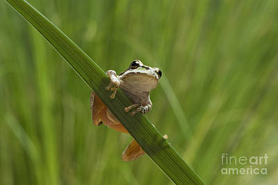 Photograph - Pacific Treefrog On Iris Leaf by Dan Suzio