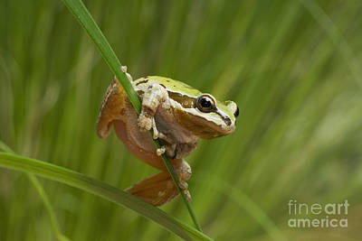 Photograph - Pacific Treefrog On Iris Leaves by Dan Suzio