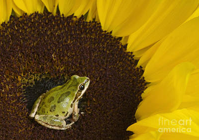 Photograph - Pacific Treefrog On Sunflower by Dan Suzio