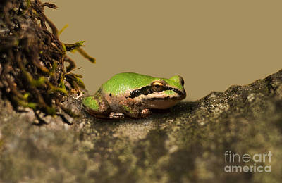 Pacific Treefrog Art Print by Ron Sanford