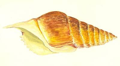 Pacific Triton Sea Shell Art Print