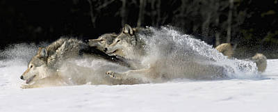 Pack Of Grey Wolves Running Through Art Print by John Hyde