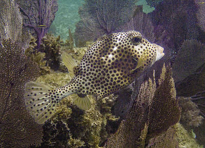 Trunkfish Wall Art - Photograph - Pack Your Trunk by Lynne Browne