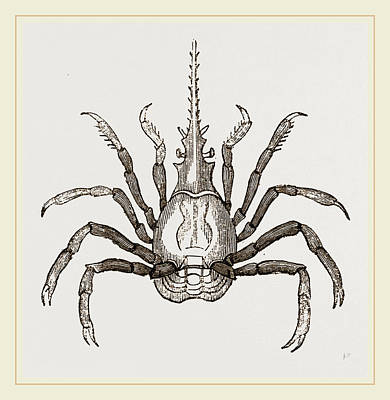 Biological Drawing - Pactulus Boscii by Litz Collection